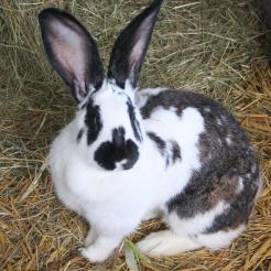 Kaninchen Anastasia