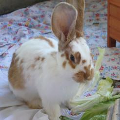 Kaninchen Magic Mike