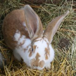 Kaninchen Gino