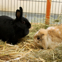 Kaninchen Henriette & Baikal