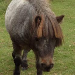 Pferd Joschi