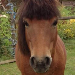 Pferd Chipsi