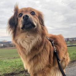 Hund Dakota
