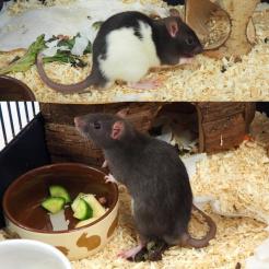 Ratte Clemens & Lars
