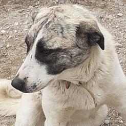 Hund Anka