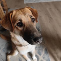 Hund Cappugina