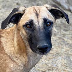 Hund Calotta