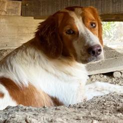 Hund Julina