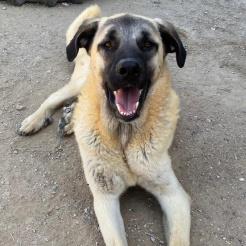 Hund Karol