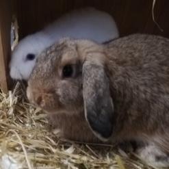 Kaninchen Rama