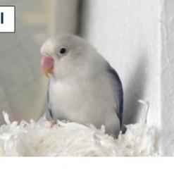 Vogel Agapornide/Unzertrennlicher