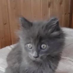 Katze Grauer Kater