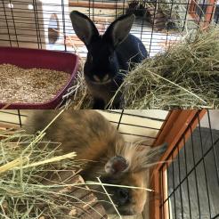Kaninchen Fundkaninchen aus NR-Niederbieber