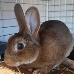 Kaninchen Heiner