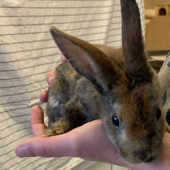 Kaninchen Mina
