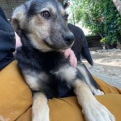 Hund Svea