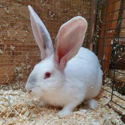 Kaninchen Charlie