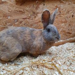 Kaninchen Sabrina