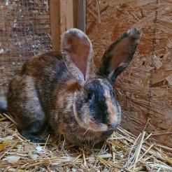 Kaninchen Jill