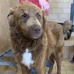 Hund Samson