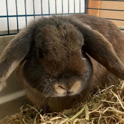 Kaninchen Muckel