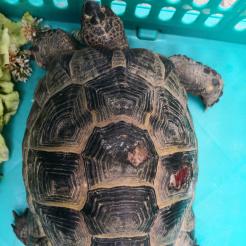 Profilbild von Fundschildkröte Remagen Kripp