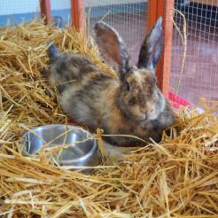 Kaninchen Hilda