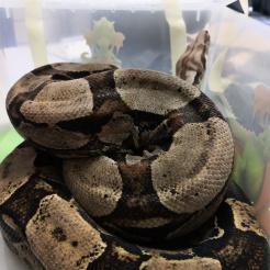 Schlange Fundschlange Sinzig