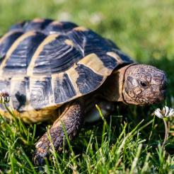 Schildkröte Griechische Landschildkröte