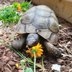 Schildkröte Donatello