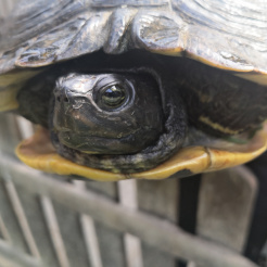 Schildkröte Daisy