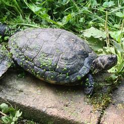 Schildkröte Heidi