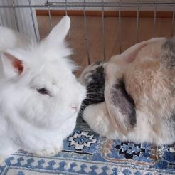 Kaninchen Fundkaninchen Westerburg (Wilma und Fred)