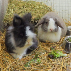 Kaninchen Gretchen & Horny