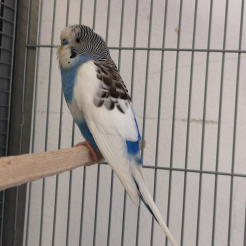 Vogel Fundwellensittich aus Neuwied-Zentrum