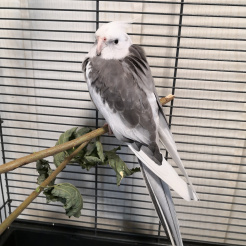 Vogel Akira