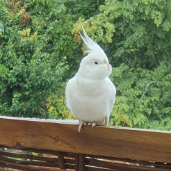 Vogel Snowball