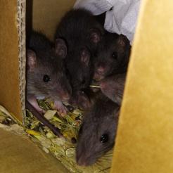 Ratte Farbratten