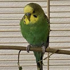 Vogel Fundwellensittich NR-Zentrum